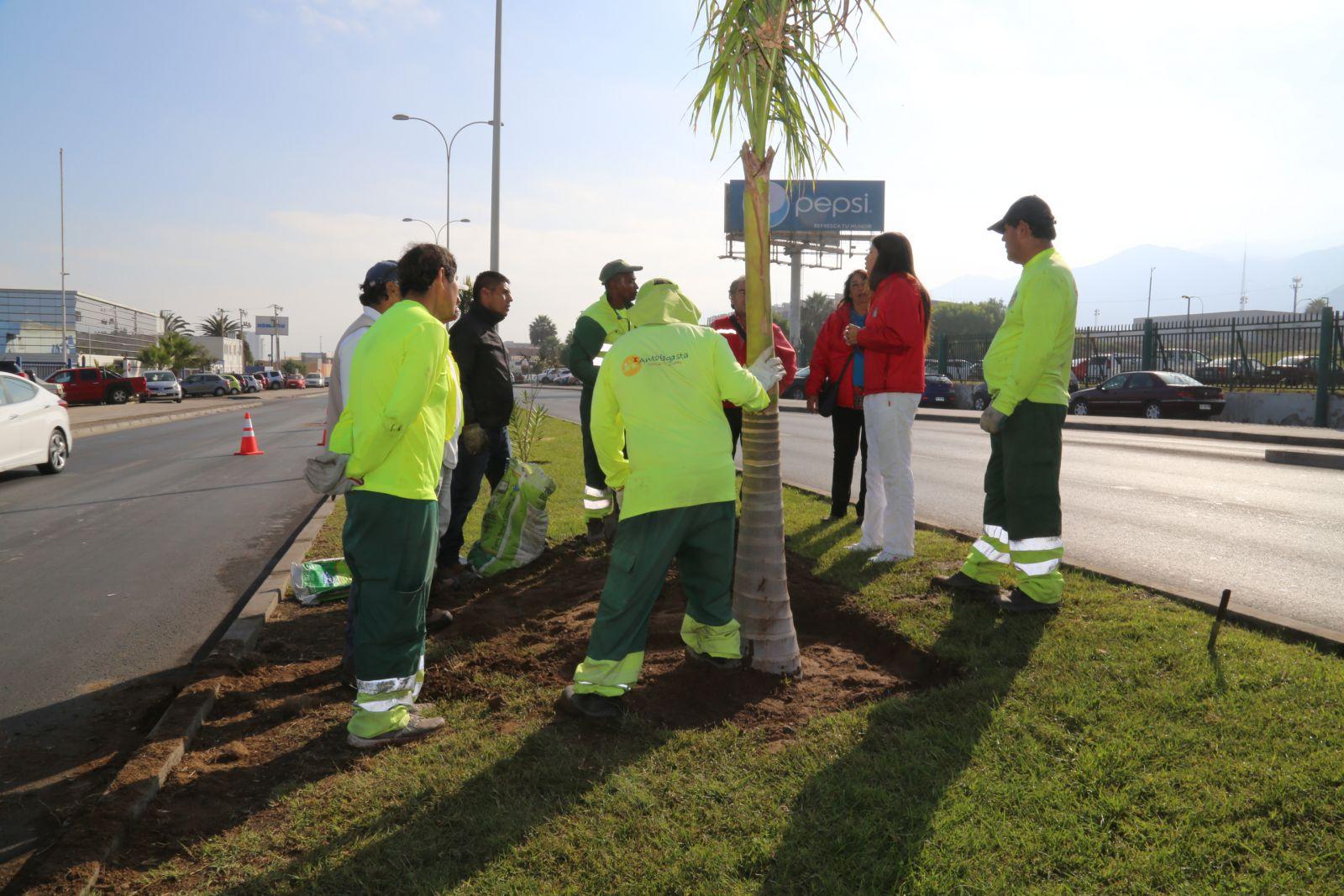 sigue-aumentando-las-areas-verdes-40-palmeras-estan-siendo-plantadas-en-diversos-sectores-de-la-comuna
